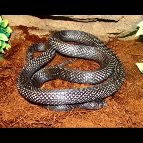 Black Milk Snake (2008 Male)