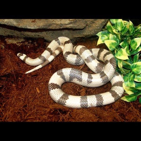 Honduran Milk Snake - Ghost (2008 Female)