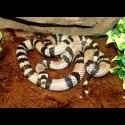 Honduran Milk Snake - Ghost
