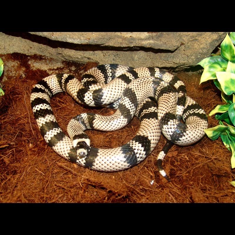 Ghost Honduran Milk Snake (Lampropeltis triangulum ...