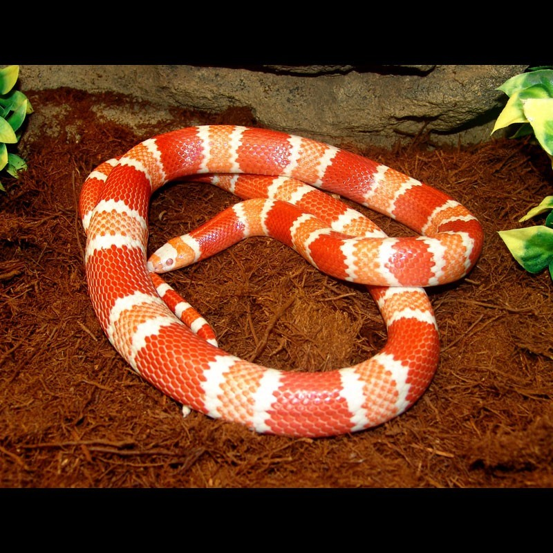Albino Tangerine Honduran Milk Snake (Lampropeltis ...