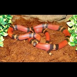 Sinaloan Milk Snake - Tangerine (2009 Female)