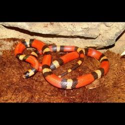Sinaloan Milk Snake - Tangerine (2009 Male)
