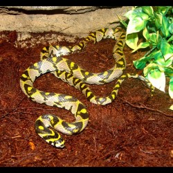 Mandarin Rat Snake (2010 Male)