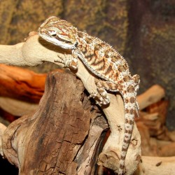 Orange Bearded Dragons (Babies)