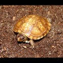 Three-toed Box Turtles (Babies)