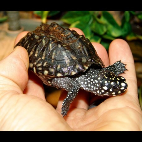 Indian Spotted Turtle