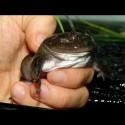 Budgett's Frogs