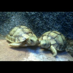 Egyptian Tortoises (Babies)