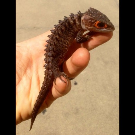 Red-eyed Crocodile Skink