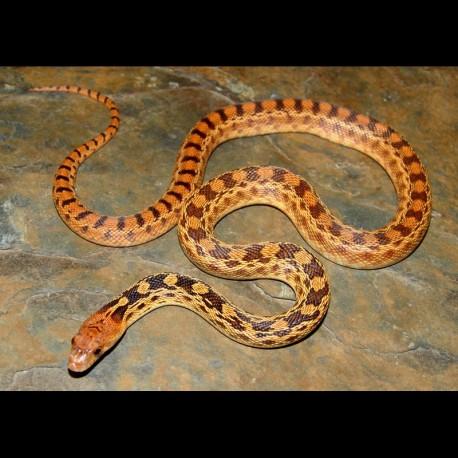 Sonoran Gopher Snakes (100% het Albino)