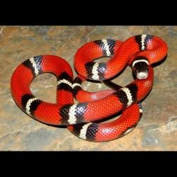 Sinaloan Milk Snakes (Babies)