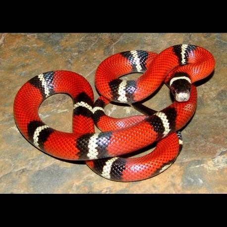 Sinaloan Milk Snakes