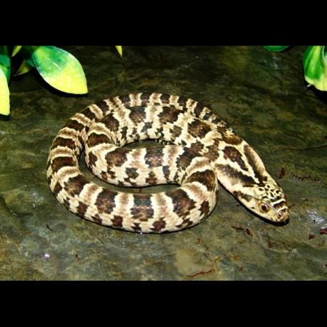 False Water Cobras - Super Hypo (Babies)