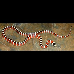 Arizona Mountain Kingsnakes (Babies)