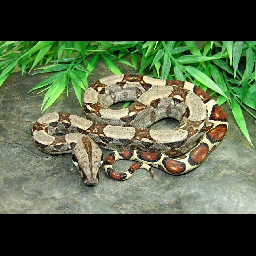 Colombian Red Tail Boas (Boa constrictor imperator)