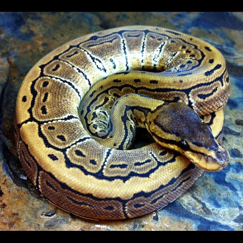 Pinstripe Ball Pythons Python Regius