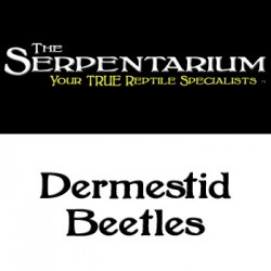 Dermestid Beetles