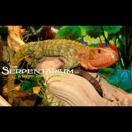 Caiman Lizards (Babies)
