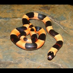 "Pueblan Milk Snakes - Apricot ""Halloween Phase"" (Baby)"