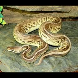 Pewter Ball Python (Babies)