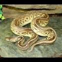 Pewter Ball Pythons (Babies)