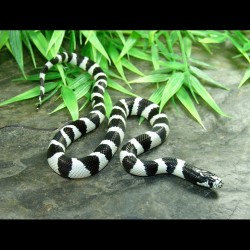California Kingsnake - 50/50