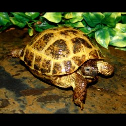Russian Tortoise (Adult - Female)