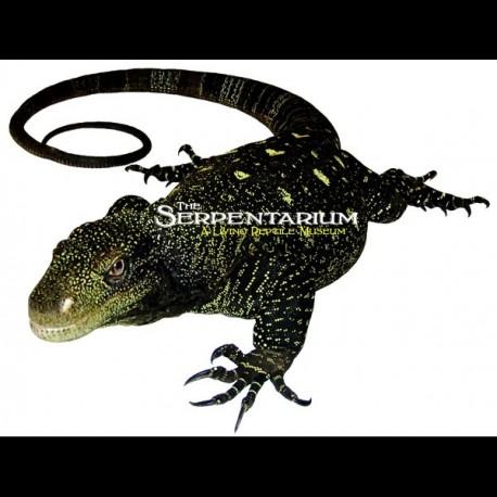Crocodile Monitors (Varanus salvadorii)