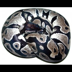 Axanthic Ball Pythons (Babies)