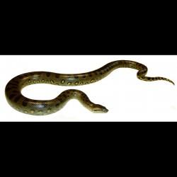 Green Anacondas (Babies)