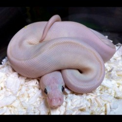Blue-eyed Lucy Ball Python (Babies)