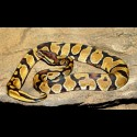 Enchi Ball Pythons (Babies)