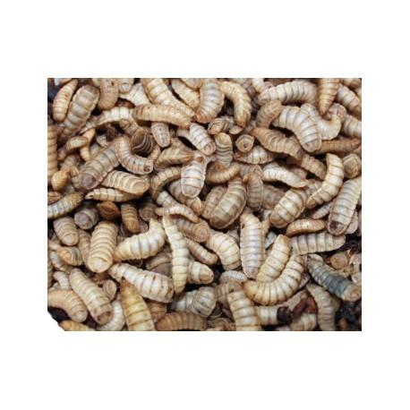 Phoenix Worms - LG