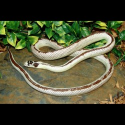 Reverse Stripe California Kingsnake (2005 Male)