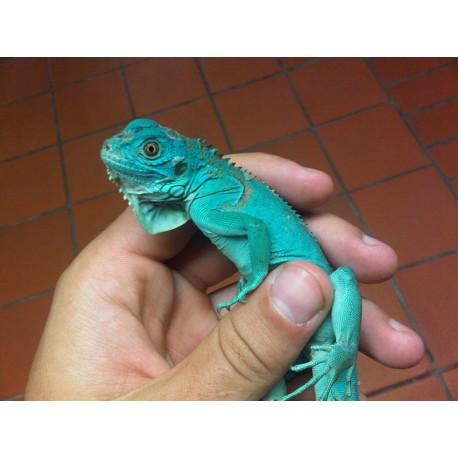 Blue Iguana (Babies)
