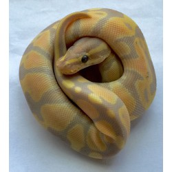 Banana Ball Pythons (Babies)