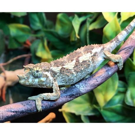 Jackson's Chameleons (Babies)