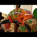Ambilobe Panther Chameleons - Red Bar (Babies)
