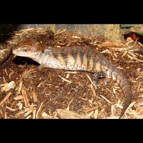 Blue Tongue Skinks - Northern (Babies)