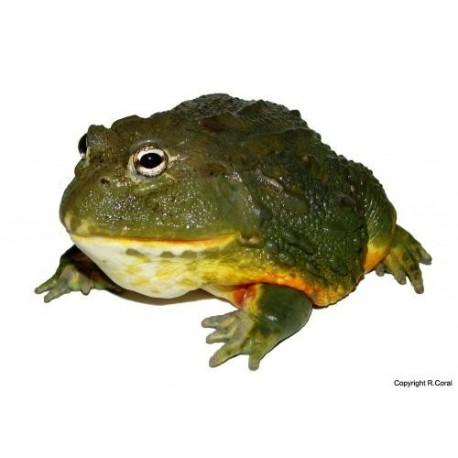 Giant African Bullfrogs Pyxicephalus Adspersus