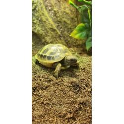 Hermann's Tortoises (Babies)