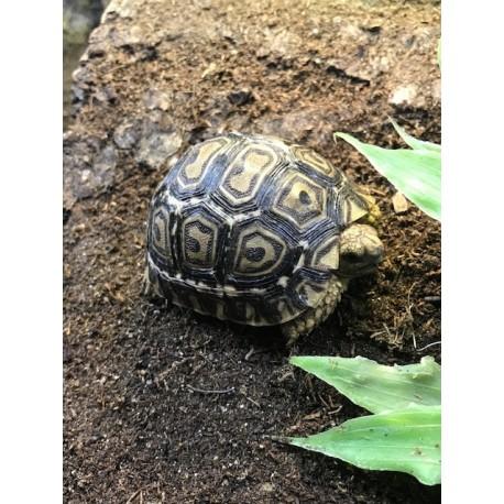 Leopard Tortoises (Babies)