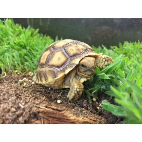 Sulcata Tortoise Geochelone Sulcata