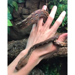 Reticulated Python (Babies)