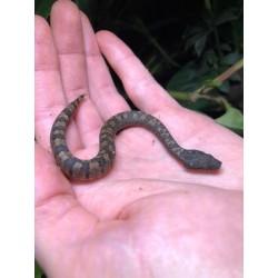 Boas For Sale - The Serpentarium, Inc