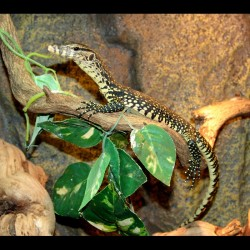 Water Monitors (Varanus salvator)