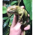 Monkey-tailed Skink