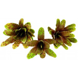 Bromeliad - Royal Pepper (Lugarti)