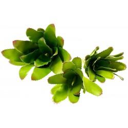 Bromeliad - Selecta (Lugarti)